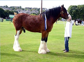 Clydesdale at show